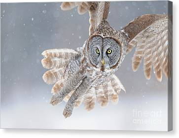Disk Canvas Print - Great Grey Owl by Scott Linstead