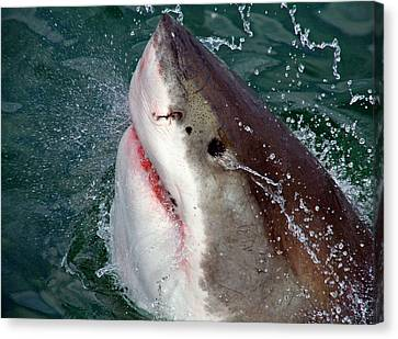 Cage Diving Canvas Print - Great White Shark (carcharodon by Miva Stock