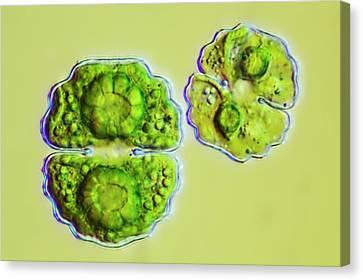 Green Algae Canvas Print by Frank Fox