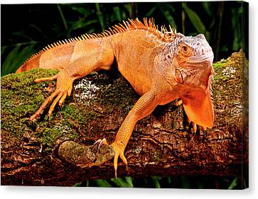 Green Iguana, Iguana Iguana, Native Canvas Print