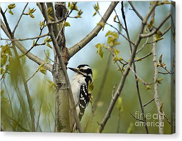 Hairy Woodpecker Canvas Print by Linda Freshwaters Arndt