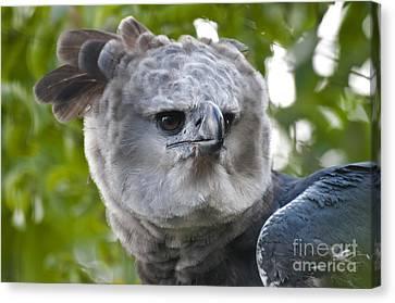 Harpy Eagle Canvas Print - Harpy Eagle by Mark Newman