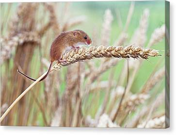 Harvest Mouse On Wheat Canvas Print by John Devries