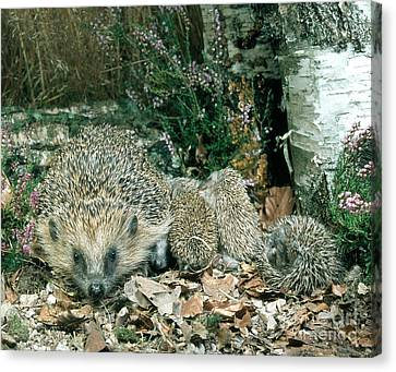 Hedgehog With Young Canvas Print by Hans Reinhard