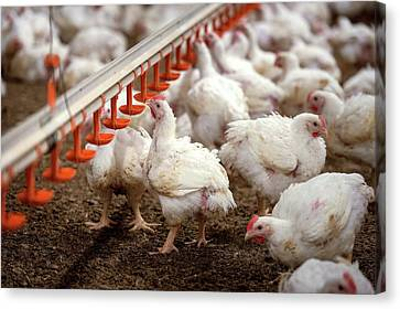 Hens Feeding From A Trough Canvas Print by Aberration Films Ltd