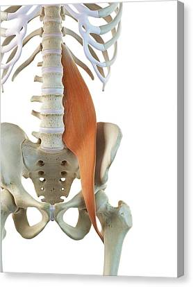 Hip Muscle Canvas Print by Sciepro