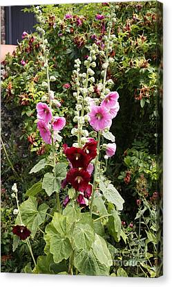 Althea Canvas Print - Hollyhock Alcea Rosea by Dr. Keith Wheeler