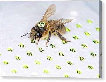 Honeybee Radar Tagging Canvas Print by Louise Murray