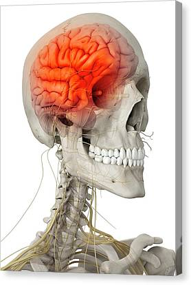 Human Brain And Nerves Canvas Print
