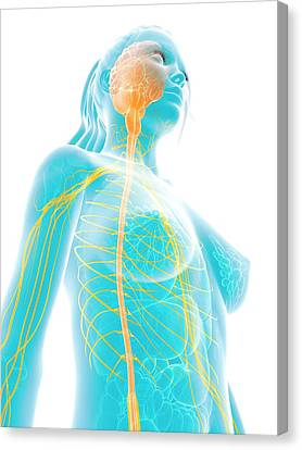 Human Brain And Spinal Cord Canvas Print by Sebastian Kaulitzki