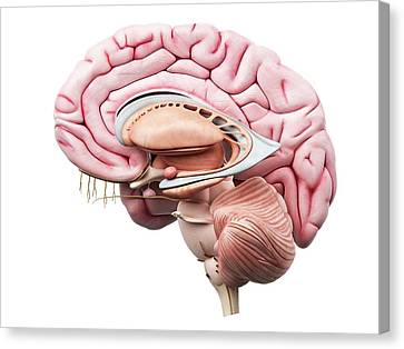 Human Brain Canvas Print by Sciepro