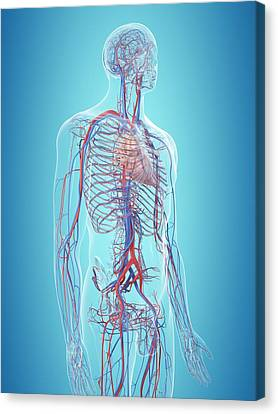 Normal Canvas Print - Human Cardiovascular System by Sciepro
