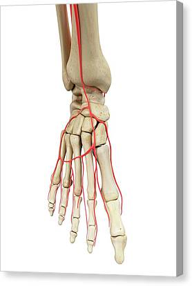 Human Foot Anatomy Canvas Print by Sciepro