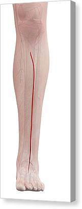 Normal Canvas Print - Human Leg Artery by Sciepro