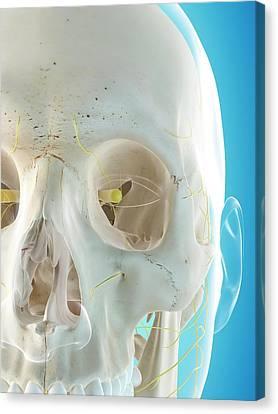 Human Nervous System Canvas Print