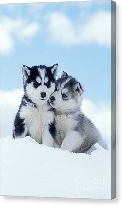 Husky Puppy Dogs Canvas Print by Rolf Kopfle