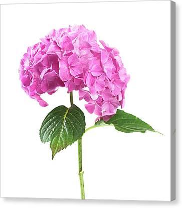 Hydrangea Flower And Soil Acidity Canvas Print
