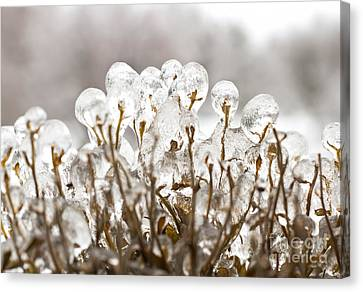 Ice On Branches Canvas Print by Blink Images