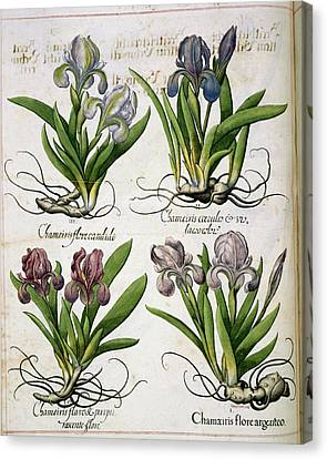 Iris Canvas Print by British Library