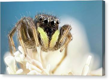 Jumping Spider Canvas Print by Nicolas Reusens