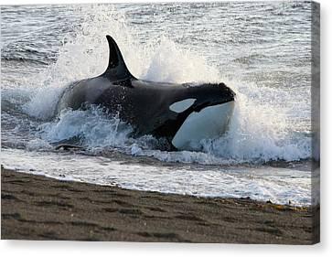 Killer Whale, Patagonia Canvas Print by Francois Gohier