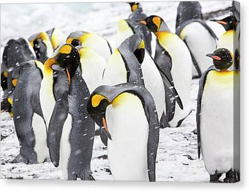 King Penguins On The Beach Canvas Print