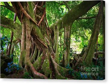 Kipahulu Banyan Tree Canvas Print by Inge Johnsson