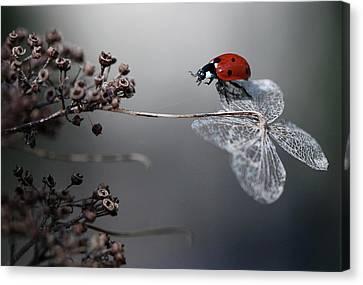 Ladybird On Hydrangea. Canvas Print