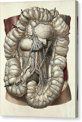 Large Intestine Canvas Print by Science Photo Library