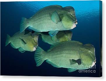 Large School Of Bumphead Parrotfish Canvas Print by Steve Jones