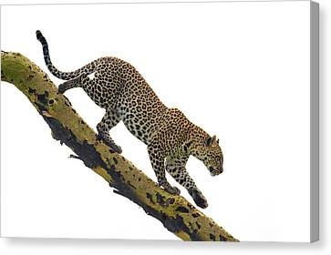 Leopard Panthera Pardus Climbing Canvas Print by Panoramic Images