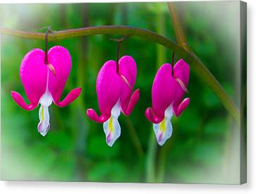 Bleeding Hearts Canvas Print by Martin Newman