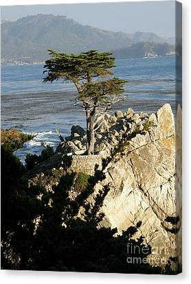 Lone Cypress Canvas Print by Bev Conover