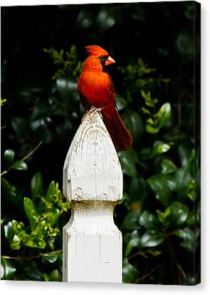 Canvas Print featuring the photograph Male Cardinal by Robert L Jackson