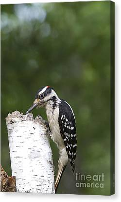 Male Hairy Woodpecker Canvas Print by Linda Freshwaters Arndt