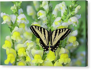 Tiger Swallowtail Canvas Print - Male Western Tiger Swallowtail by Darrell Gulin