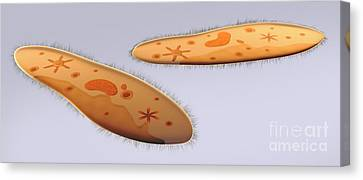 Microscopic View Of Paramecium Canvas Print by Stocktrek Images