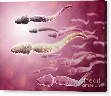 Microscopic View Of Sperm Traveling Canvas Print by Stocktrek Images