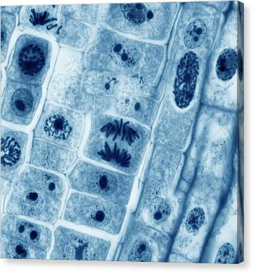 Mitosis Canvas Print by Steve Gschmeissner