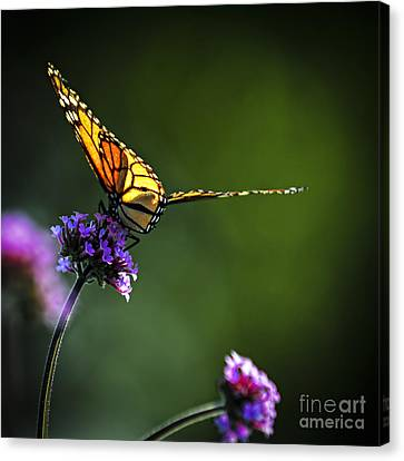 Monarch Butterfly Canvas Print by Elena Elisseeva