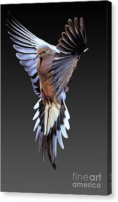 Mourning Dove Canvas Print by Anthony Mercieca