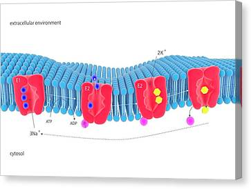 Na-k Membrane Ion Pump Canvas Print by Science Photo Library