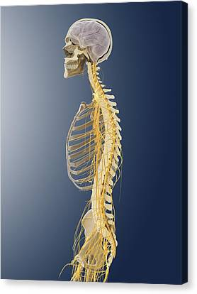 Nervous System, Artwork Canvas Print by Science Photo Library