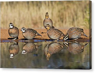 Northern Bobwhite (colinus Virginianus Canvas Print by Larry Ditto