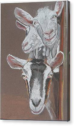 3 Nosey Goats Canvas Print
