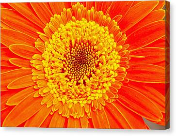 Orange Gerber Canvas Print by Borislav Marinic