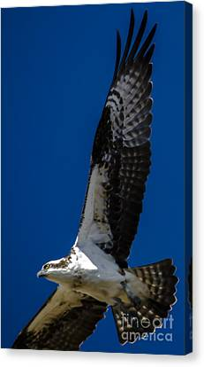 Canvas Print featuring the photograph Osprey In Flight by Dale Powell
