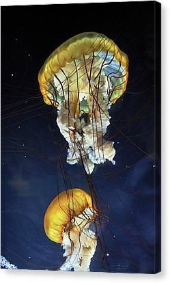 Pacific Sea Nettle Jellyfish Canvas Print by Bildagentur-online/mcphoto-schulz