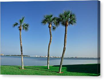 3 Palm Trees And The Sand Key Bridge Canvas Print by Bill Cannon