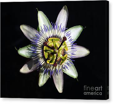 Passion Flower Canvas Print by Debra Thompson